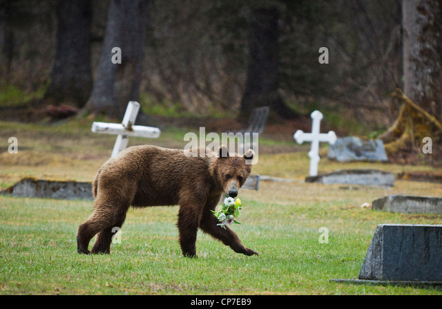 Juvenile Brown bear stealing flowers from a cemetery near Valdez, Southcentral Alaska, Spring - Stock Image