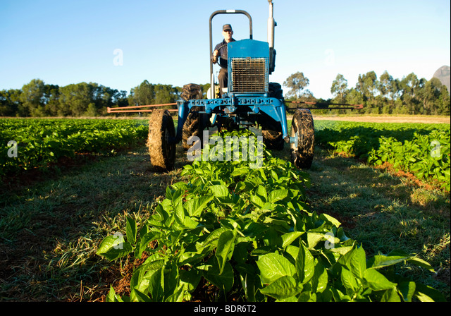 Fertlizing organic potato crop - Stock Image