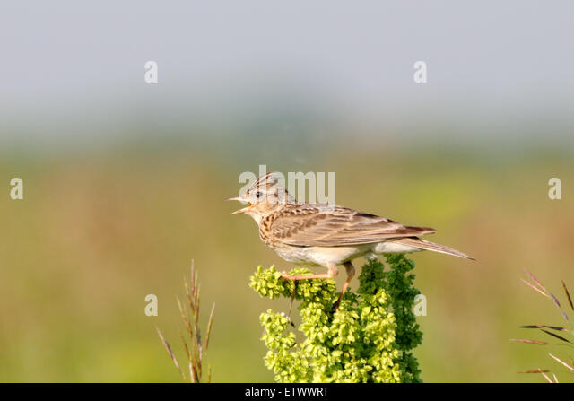 Eurasian Skylark in the field near Moscow, Russia - Stock Image