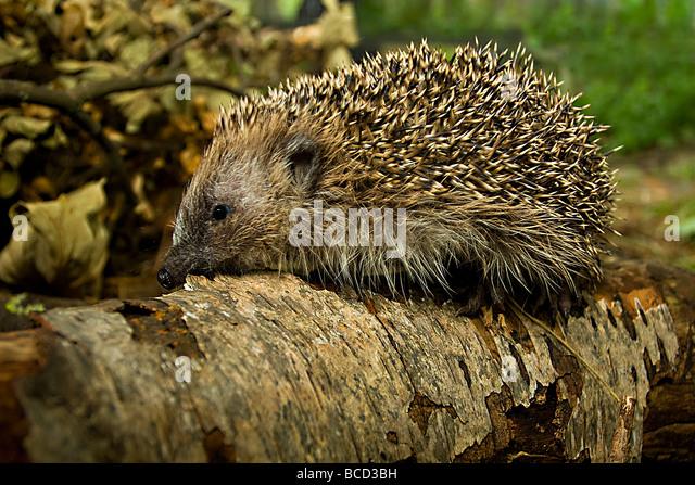 HEDGEHOG (Erinaceus europaeus) - Stock-Bilder