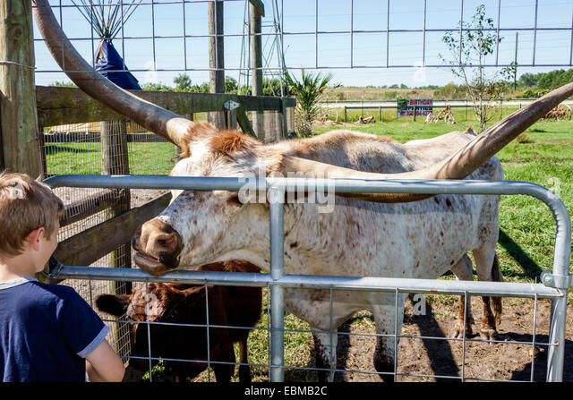 Clermont Florida Showcase of Citrus boy petting zoo calf Texas longhorn cattle boy - Stock Image