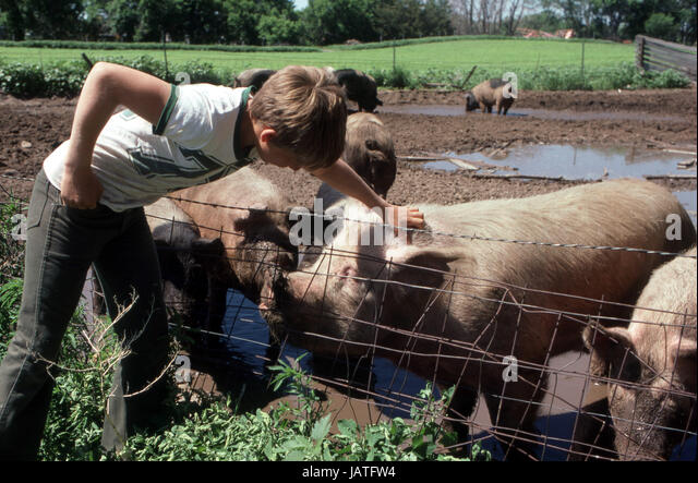 young boy petting a pig in the farmers field - Stock Image