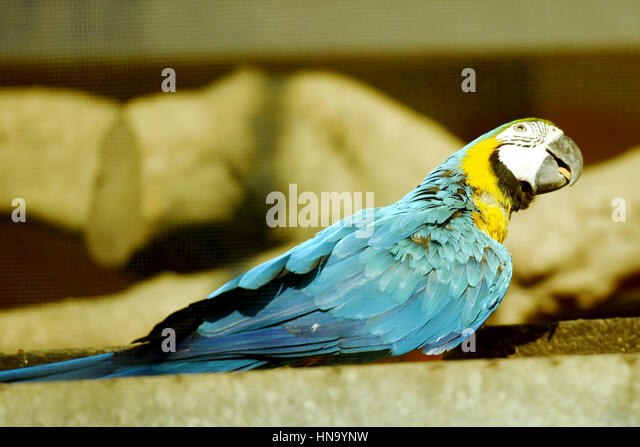 Blue-and-yellow macaw - Stock Image
