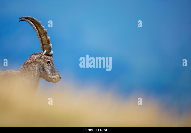 Alpine ibex (Capra ibex) male, Bernese Alps, Switzerland, August. - Stock Image