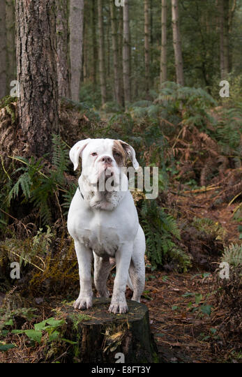 UK, England, West Midlands, Stoke-on-Trent, Hanchurch Woods, White Bulldog standing on tree stump in woods - Stock Image