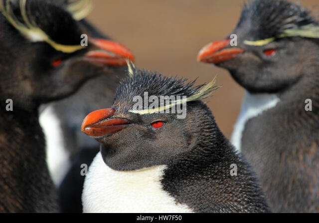 Rockhopper penguin in the rookery, Falkland Islands - Stock Image