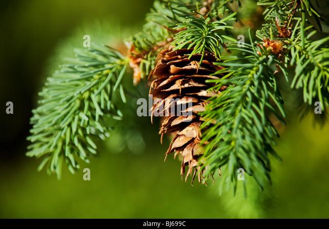 evergreen tree and pine cone background - Stock-Bilder