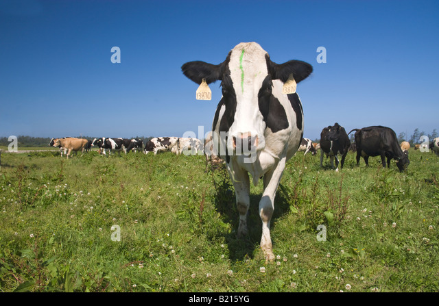 Holstein dairy cow being curious, organic 'Eco' dairy. - Stock Image