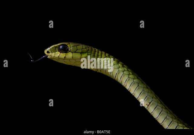 Boomslang (Dispholidus typus) snake tasting air with tongue set against a black background - Stock Image