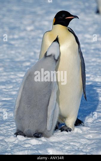 Antarctica, Weddell Sea, Halley Bay. Emperor penguin & chick (Aptenodytes forsteri). - Stock Image