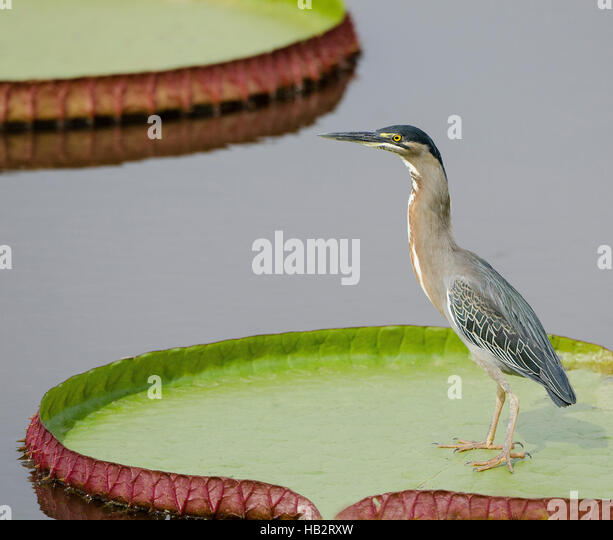 Striated Heron (Butorides striata) on a giant lily pad - Stock Image