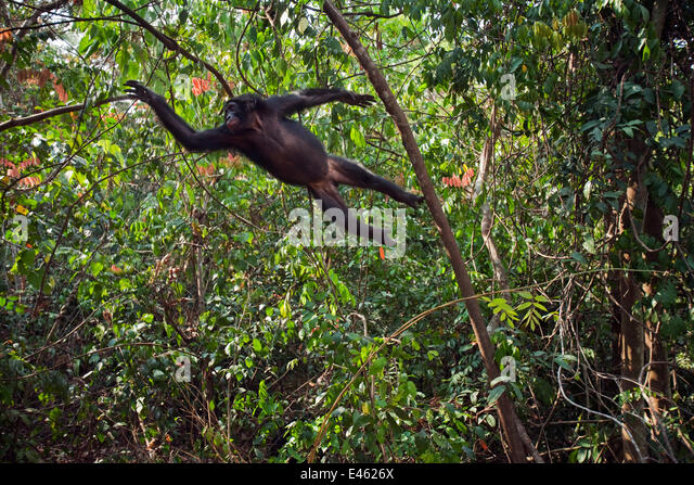 Bonobo (Pan paniscus) adolescent male leaping through the trees, Lola Ya Bonobo Sanctuary, Democratic Republic of - Stock-Bilder