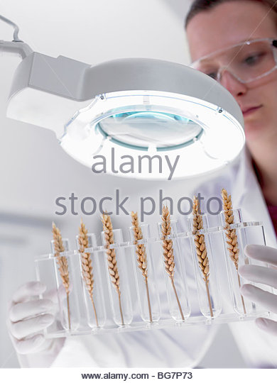 Scientist examining wheat in test tubes under magnification lamp - Stock Image