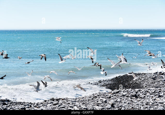 Seagulls fly along the seashore of Northern California's The Lost Coast - Stock Image