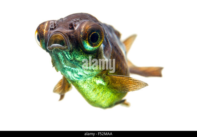 Telescope Goldfish Fry - Stock Image