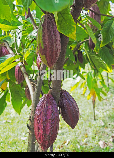 Purple cacao pods at Women's Chocolate Cooperative, Chocal, near Puerto Plata, Dominican republic. - Stock Image