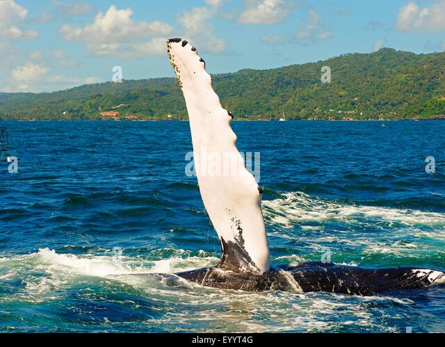 humpback whale (Megaptera novaeangliae), humpback whale slaps its fin, Dominican Republic, Samana - Stock Image