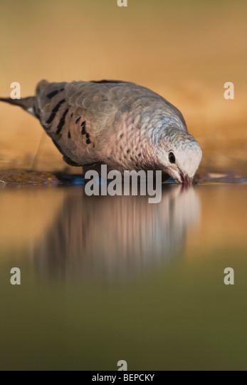 Common Ground-Dove, Columbina passerina, adult drinking, Rio Grande Valley, Texas, USA - Stock Image