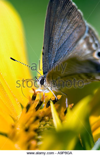Close up of a small blue butterfly on a sunflower plant in India - Stock-Bilder