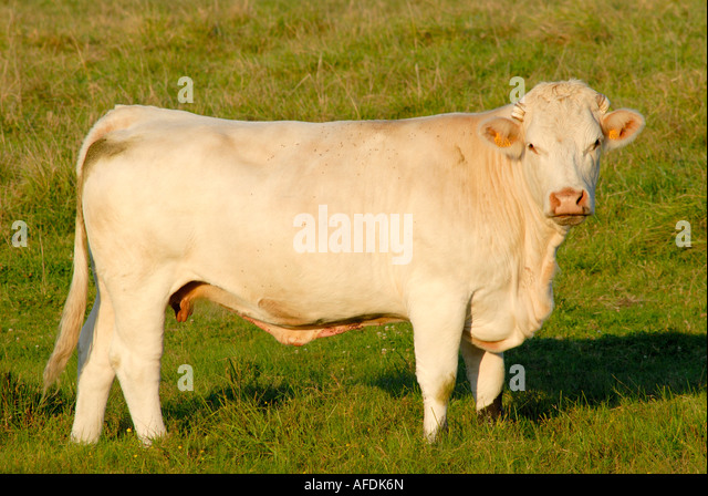Charolais cow, Indre, France. - Stock Image