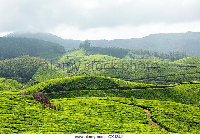 Tea plantations in mountains, Munnar, Kerala, India - Stock-Bilder
