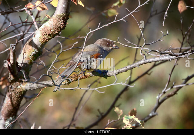 Siberian Jay (Perisoreus infaustus) is very kind and funny (curiosity) taiga bird. Shows gullibility and cunning - Stock Image