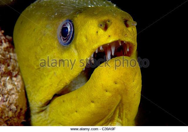 Moray Eel - Stock Image
