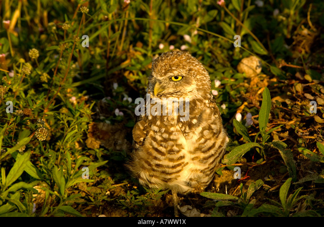 Burrowing owl Athene cunicularia portrait closeup - Stock Image