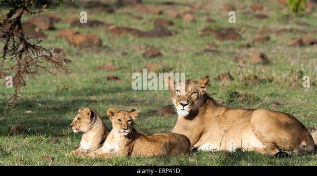Adult female lion and cubs (Panthera leo) Mara Naboisho conservancy Kenya Africa - Stock Image