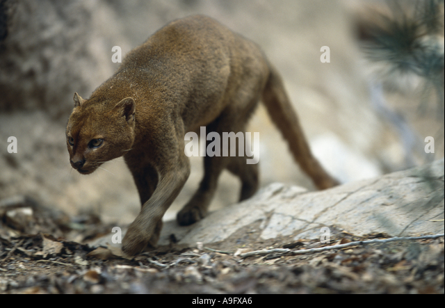jaguarundi (Felis yagouaroundi), walking, front view, USA, Arizona, Saguaro National Monument - Stock Image