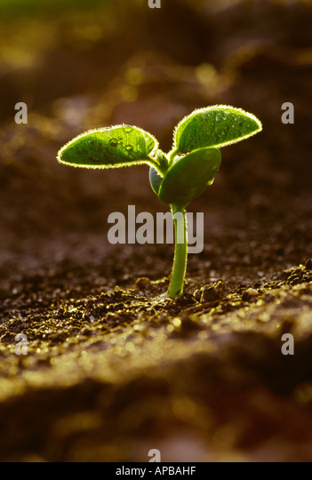 Agriculture - Closeup of a soybean seedling at the two leaf stage damp with rainwater in early morning light / Iowa, - Stock Image