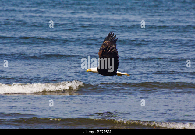 Bald Eagle soars over the Pacific Ocean Olympic National Park Washington - Stock Image
