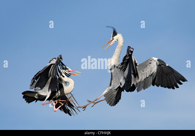 Two great blue heron fighting for the territory, Cantabria, Spain - Stock Image