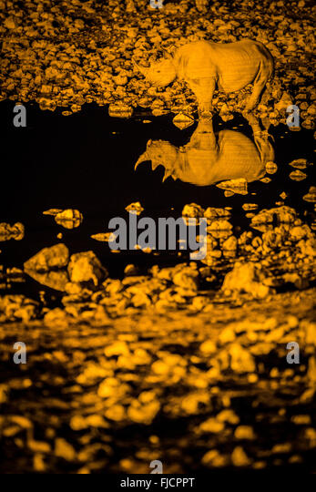 Rhino drinks at a flood lit water hole - Stock Image
