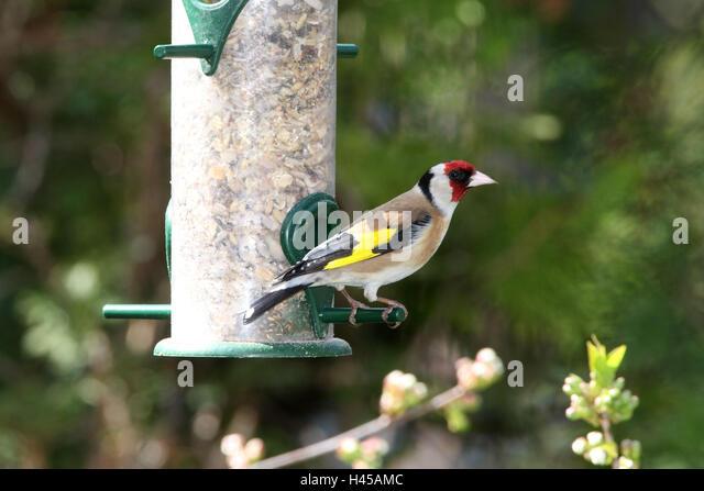 jilguero bird drinking water - photo #11