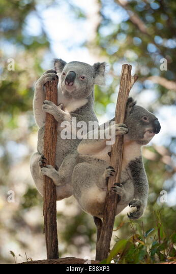 Two koalas (Phascolarctos Cinereous) hanging on a tree, Lone Pine Koala Sanctuary, Brisbane, Queensland, Australia, - Stock Image