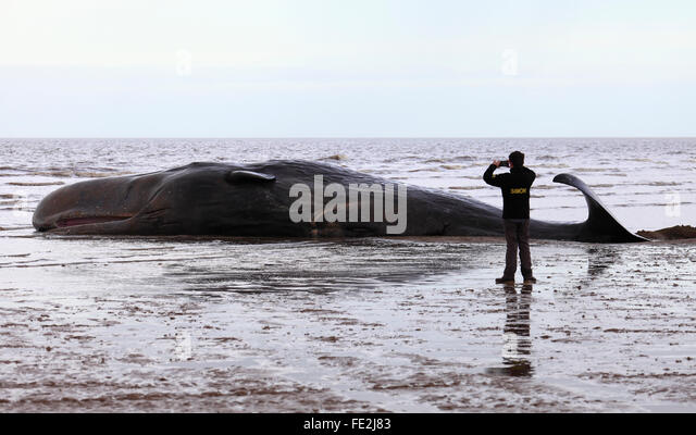 Old Hunstanton, Norfolk, England, UK. February 4th 2016. A beached sperm whale fights for its life as the tide rises - Stock Image