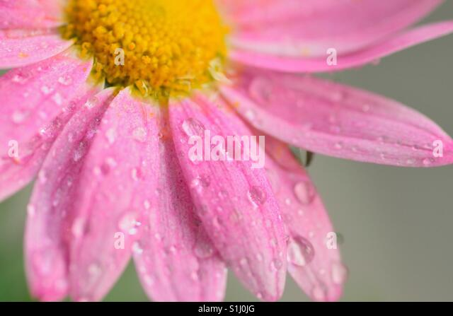 Macro water droplets on pink daisy flower - Stock Image