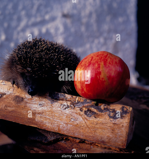 hedgehog with single apple. Photo by Willy Matheisl - Stock Image