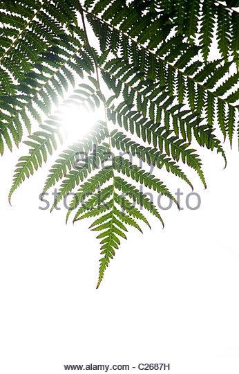 Dicksonia squarrosa leaf against white sunlight background - Stock Image