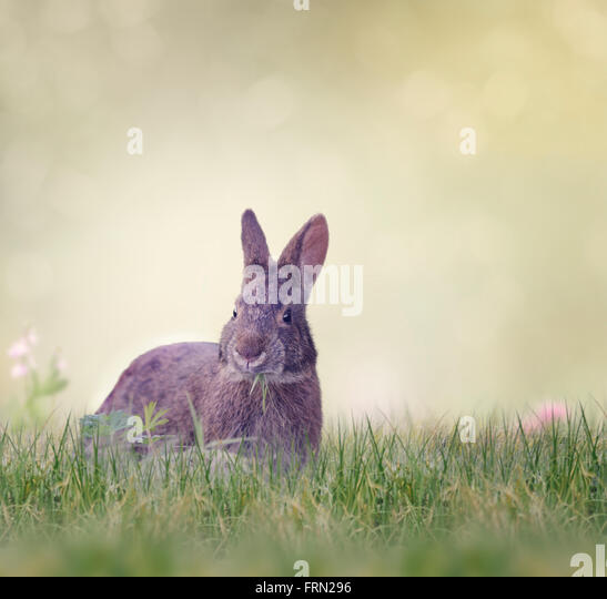 Marsh Rabbit Eating Green Grass - Stock Image