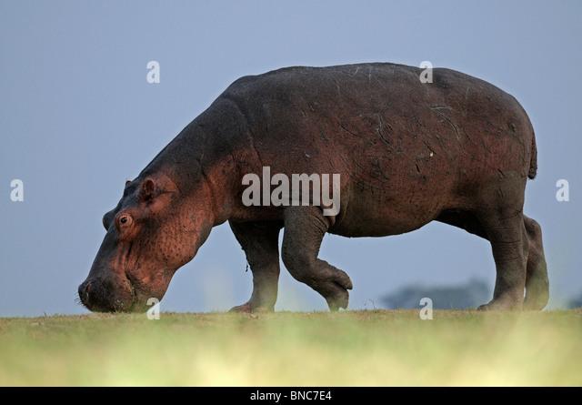 Hippopotamus grazing (Hippopotamus amphibius), South Luangwa National Park, Zambia - Stock-Bilder