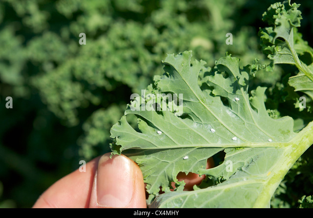 Adults of the cabbage whitefly (Aleyrodes proletella) on a kale leaf. - Stock Image