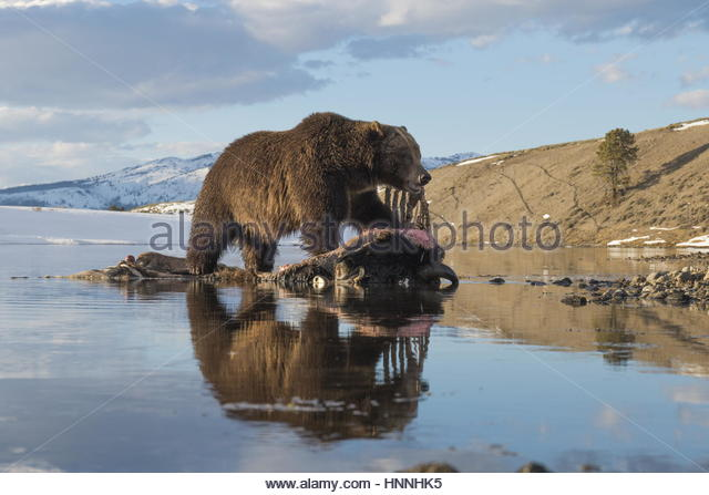 A camera trap captures a grizzly bear feeding on a drowned bison. - Stock-Bilder