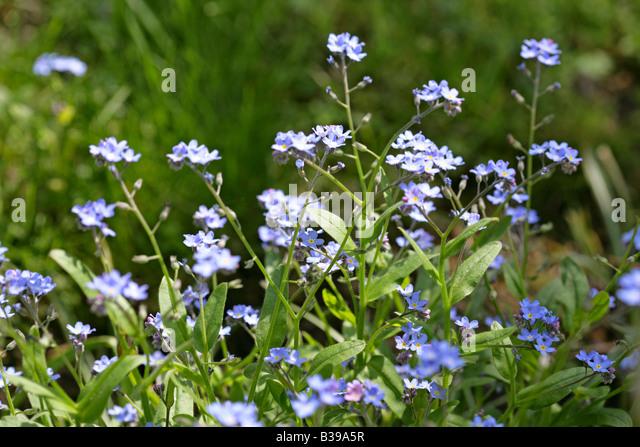 blaue blumen stock photos blaue blumen stock images alamy. Black Bedroom Furniture Sets. Home Design Ideas