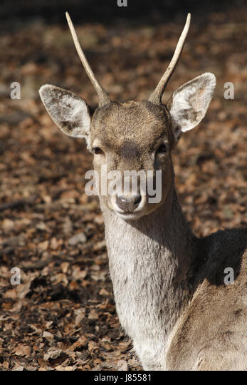 horns fallow deer bourgeois hunting chase hart stag wild male masculine horns - Stock Image