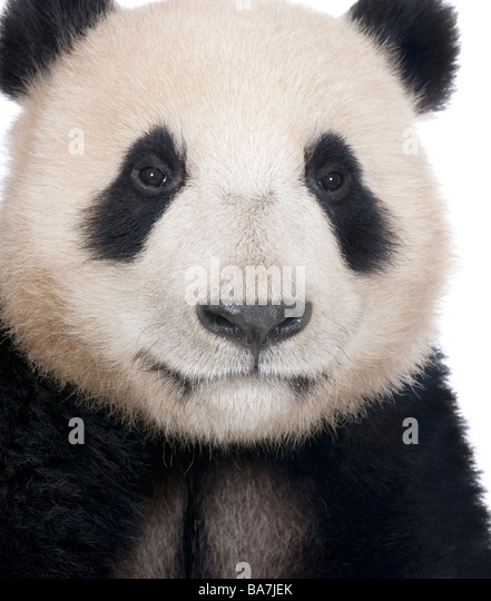 Giant Panda (18 months) - Ailuropoda melanoleuca in front of a white background - Stock Image