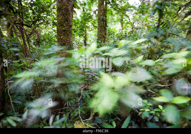 Leaves in motion inside the dense cloud forest of Omar Torrijos national park, Cocle province, Republic of Panama. - Stock-Bilder