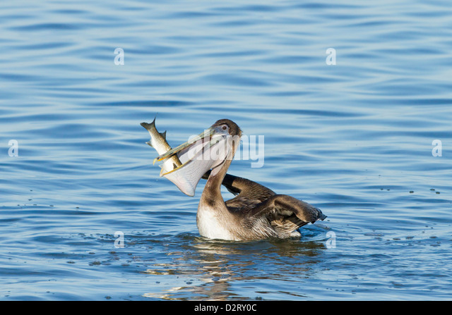 Pelican eating fish stock photos pelican eating fish for Eating mullet fish