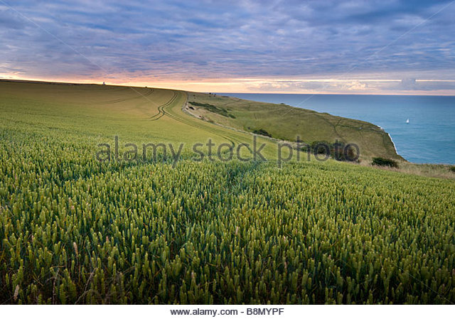 Wheat field, White Cliffs, Dover, Kent, England. - Stock Image